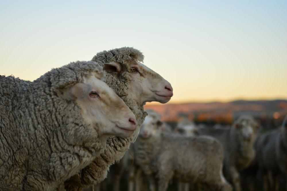 Mein Farmalltag in Australien – Schwein kraulen, Traktor fahren und Schafe scheren